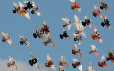 birds-in-flight (Large)